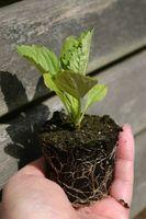 Peut Sprite Faire croître une plante haute?