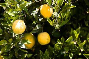 Comment faire pousser un oranger à Los Angeles