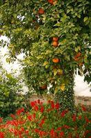 Comment cueillir des oranges en Floride