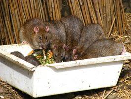 Comment tuer les rats dans la maison