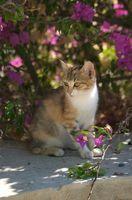 Roses trémières sont toxiques pour les chats?