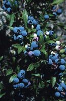 Comment Transplanter pot Blueberry