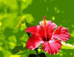 Fleurs tropicales de la Jamaïque