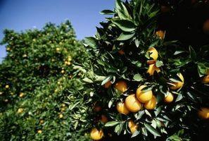 Quand cueillir des oranges