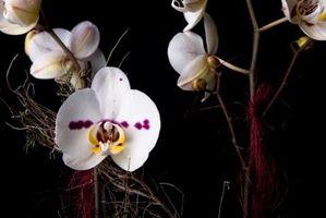 Fleurs qui sentent la vanille