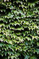 Comment tuer Ivy Vines