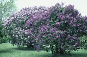 Champignon sur un arbre Lilas