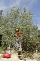 Comment à l'eau des arbres fruitiers et de vergers