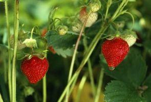 Comment préparer le sol pour la plantation de fraises