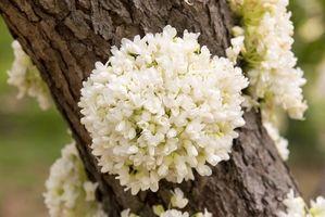 Arbres Michigan natif fleurs