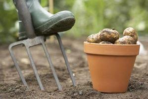 Insectes noirs sur les plantes de pomme de terre