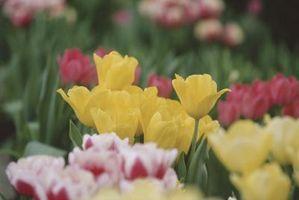 Hauteur de tulipes