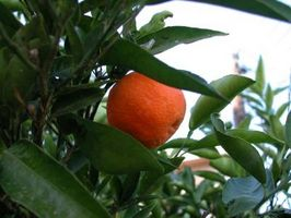 Comment tailler un Clementine Orange Tree