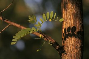 Comment tailler un Acacia