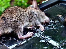 Comment tuer les rats et les écureuils