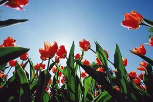 Can tulipes Herbe tuer?