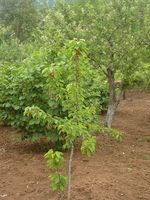 Nains arbres et problèmes de fruits