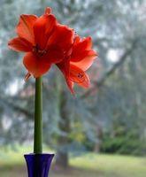 Amaryllis entretien des plantes et l 39 alimentation for Amaryllis exterieur