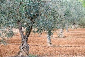 Olive Tree ravageurs