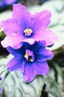 Types de violette africaine