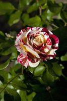 Rose Bush Entretien et insecticides