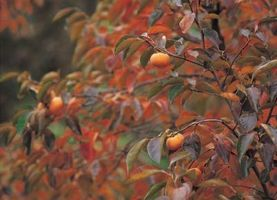 Comment réparer de Split Bark sur un Peach Tree