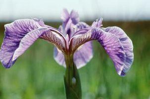 Comment tailler les plantes Iris
