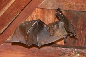 Décrire l'Habitat Votre Bat devrait vivre dans