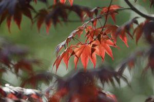 Vine Maple Tree problèmes
