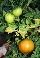 Lutte contre les insectes d'un jardin potager