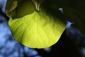 Qu'advient-il de glucose produit en feuilles?