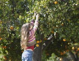 Vous pouvez cueillir des oranges avec un peu de vert?