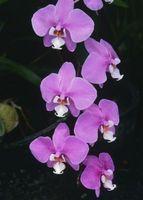 Comment cultiver des orchidées intérieur