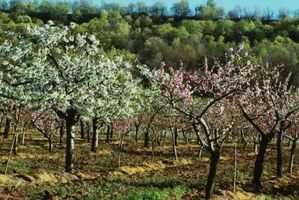 Ce qui rend les feuilles tombent des arbres fruitiers nains?