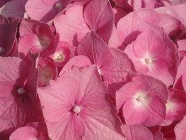 Qu'est-ce que Hydrangea teinture de racine?