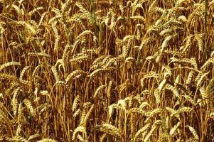 Comment compter les rendements de blé