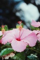 Astuces pour propager Hibiscus