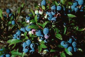 Les plantes perdent leurs feuilles et Blueberry t Bush mourir?