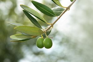 Comment cultiver des Oliviers en Floride centrale