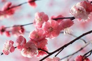 Le soin de la japonaise floraison Cherry Tree