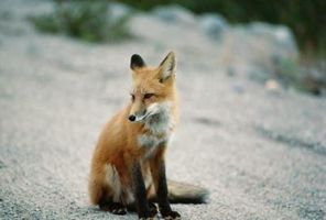 Comment garder Foxes Loin