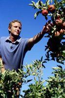 Pomme de croissance des semences