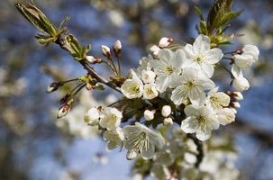 DrawF Cherry Trees