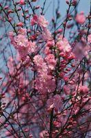 Le soin d'une floraison Cherry Tree
