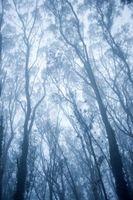 Croissance rapide Aussie arbres
