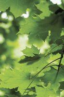 Quand Fertiliser Maple arbres dans le nord du Minnesota?