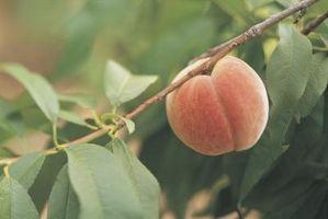 Comment planter un arbre Peach Avec gel hivernal