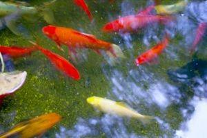 Comment arrêter Moss dans les poissons des étangs