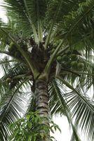 Comment prendre soin de Coconut Palm Trees
