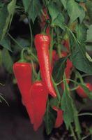 Mes Pepper plantes sont en bonne santé mais ils ont juste cessé de croître